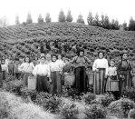 Βατούμι. Ελληνίδες μετανάστριες στον Καύκασο, σε φυτεία τσαγιού, τέλη 19ουαι.